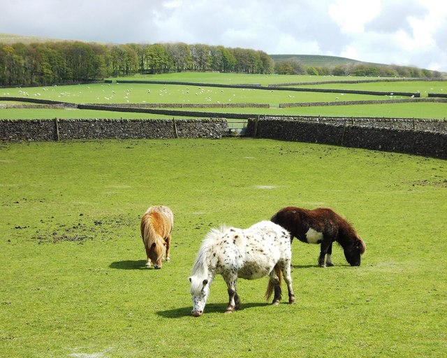 Miniature ponies in a Perry Dale field