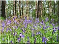 SP3059 : Bluebells in Oakley Wood by David P Howard