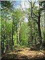 SE9162 : Through  the  Beech  Wood  on  York  Bank by Martin Dawes