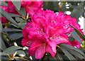 SU4200 : A rhododendron in Exbury Gardens by Steve Daniels