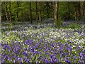 SP3059 : Spring flowers in Oakley Wood by David P Howard