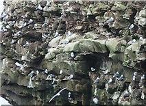NU2231 : Close-up of kittiwake colony by Barbara Carr