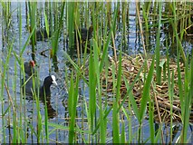 TQ0481 : Coot family by nest on Farlows Lake by Shazz