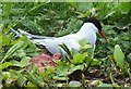 NU2135 : Arctic tern on its nest by Barbara Carr