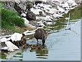 NU2135 : Mallard with ducklings in a freshwater pool by Barbara Carr
