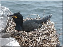 NU2135 : Shag (Phalacrocorax aristotelis) on its nest by Barbara Carr