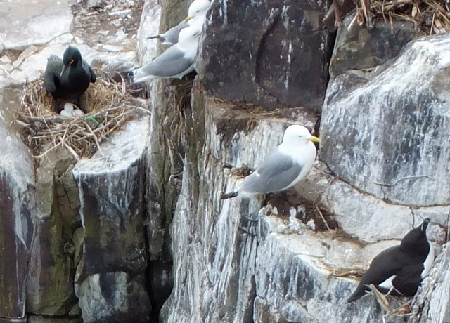 Shag with three eggs ... and some kittiwakes and a razorbill