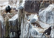 NU2135 : Shag with three eggs ... and some kittiwakes and a razorbill by Barbara Carr