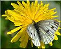 J3470 : Butterfly, Lagan towpath, Belfast by Albert Bridge