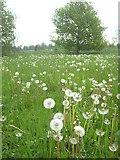 TQ0487 : Dandelion 'clocks' in a field on the edge of Denham village by Rod Allday