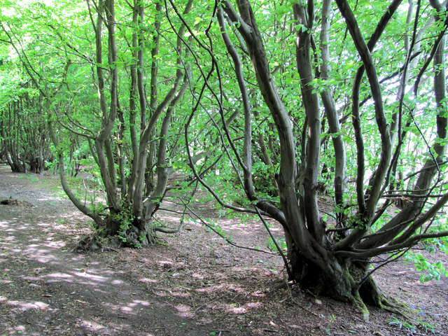 Pollarded Hornbeam Trees on Mardley Heath