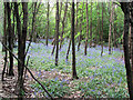 TL2418 : A Sea of Bluebells on Mardley Heath by Chris Reynolds
