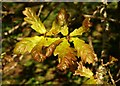 SX9066 : Oak leaves, former Barton tip by Derek Harper