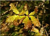 SX9066 : Oak leaves, former Barton tip by Derek Harper