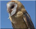 TL0914 : Barn Owl at the Hertfordshire Showground 2013 by Christine Matthews