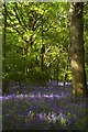 TQ4659 : Bluebells, Birches Croft by Christopher Hilton