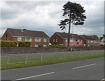 ST3091 : Tall conifer, Malpas Road, Newport by Jaggery