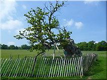 TQ5244 : The Sidney Oak, Penshurst Park by Marathon