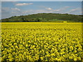 SO9239 : Oil seed rape and Bredon Hill by Philip Halling