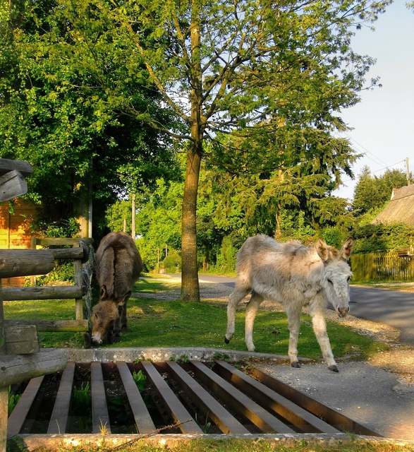 Donkeys at the Foresters' Arms, Frogham