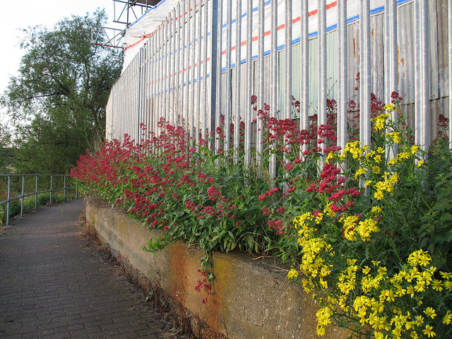 Colourful weeds on the Thames Path