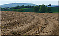SU7824 : Field of asparagus west of the Sussex Border Path by Chris Gunns
