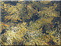 NM7283 : Seaweed in Loch nan Uamh by M J Richardson