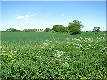 TM4592 : Wheat crop by Sutton's Farm, Aldeby by Evelyn Simak