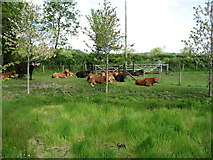 NY3558 : Peaceful cattle by David Purchase