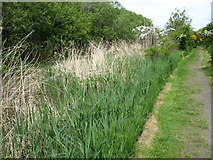 NY2461 : The Hadrian's Wall Path nearing Port Carlisle by David Purchase