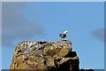 NX8350 : A herring gull on Hestan Island by Walter Baxter