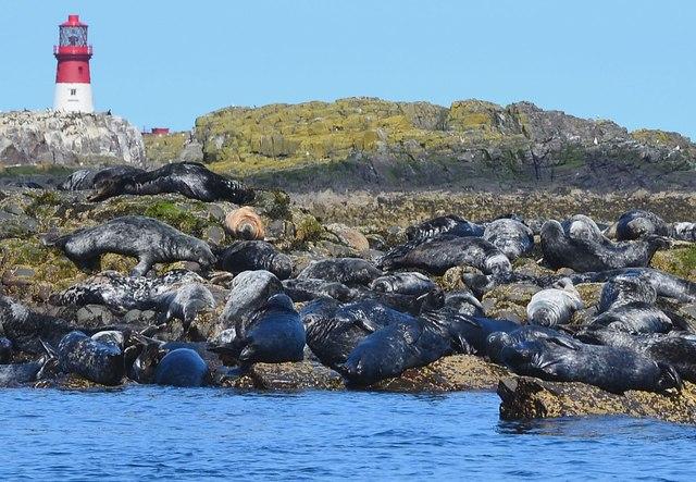 Grey seals, South Wamses