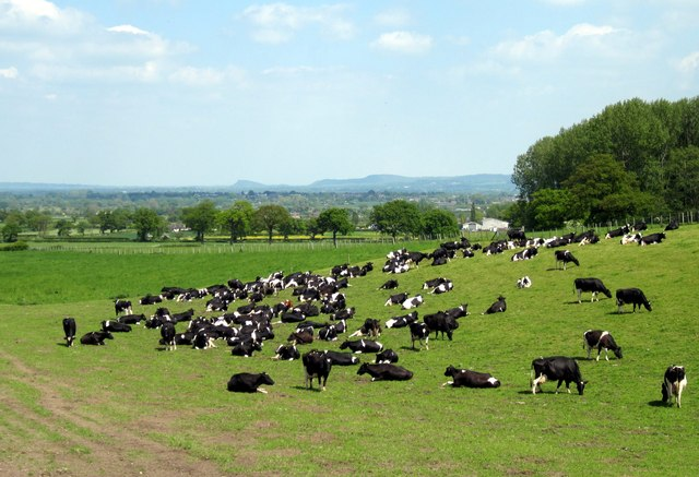Field of Friesians at Borras