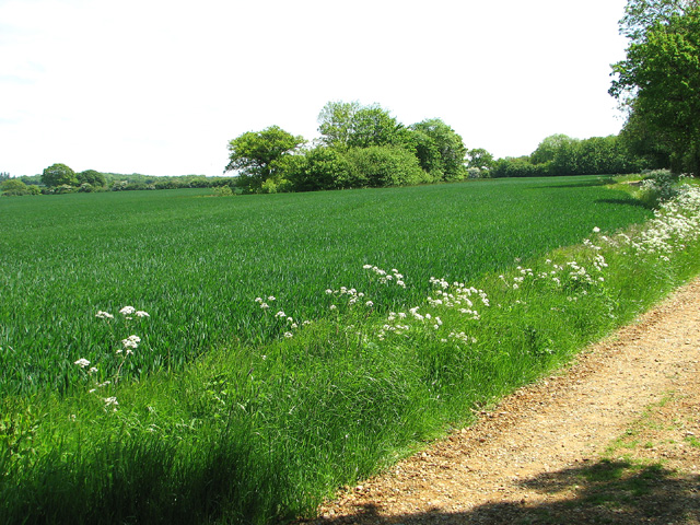 Wheat crop beside Boot's Lane