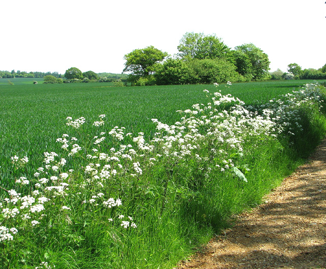 Cow parsley beside Boot's Lane