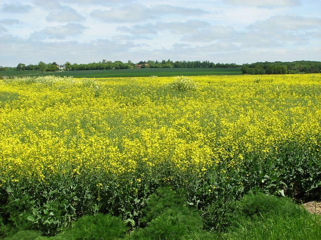 Oilseed rape fields on Windle Hills