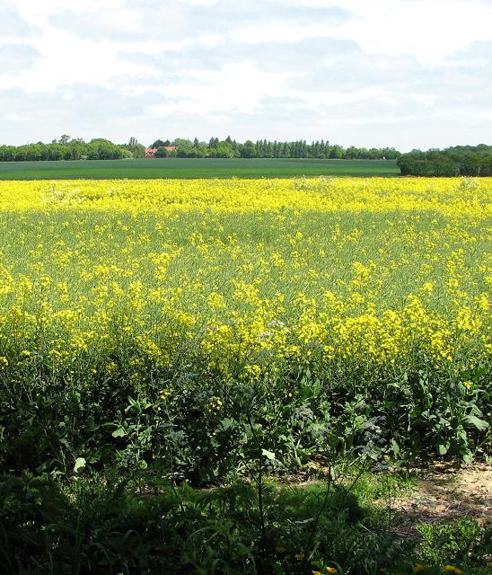 Oilseed rape crop beside Boot's Lane