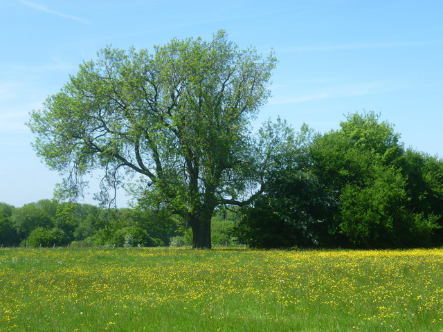 Field of buttercups seen from Wrotham Hill Road