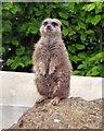 TQ0107 : Meerkat at Arundel by Rob Farrow