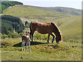 SN8049 : Mare and foal, near Llyn Brianne by Nigel Brown
