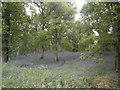 NO1338 : Bluebell Woods At Kinclaven by Stevan Hogg