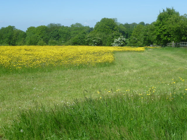 Field of buttercups next to Wrotham Hill Road