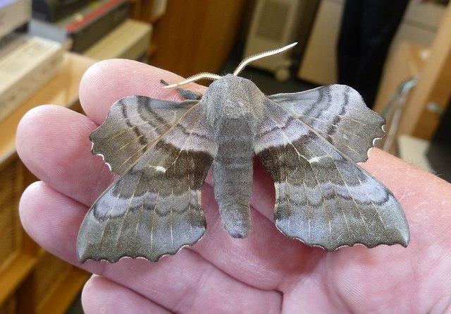 Poplar Hawk Moth (Laothoe populi)