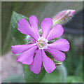 TA0748 : Colourful Red campion by Pauline E