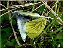 D0345 : Pairing moths, Ballintoy by Kenneth  Allen