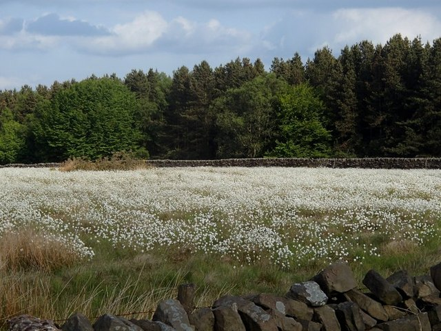 Profusion of cotton grass