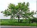 SK6155 : Solitary tree, north side of Baulker Lane by Christine Johnstone