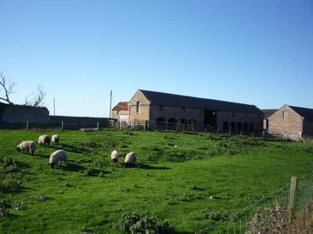 Sheep at Goswick