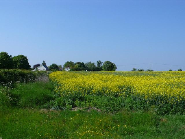 Rapeseed Field at Ashington