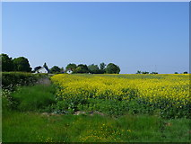 ST5621 : Rapeseed Field at Ashington by Nigel Mykura